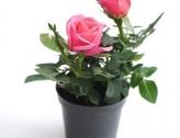 Vente annuelle de mini rosiers du 15 au 21 mars